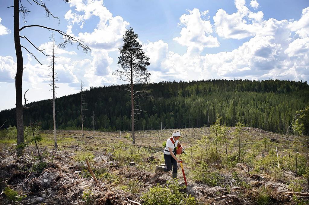 Skogsplantering i Västerbotten.
